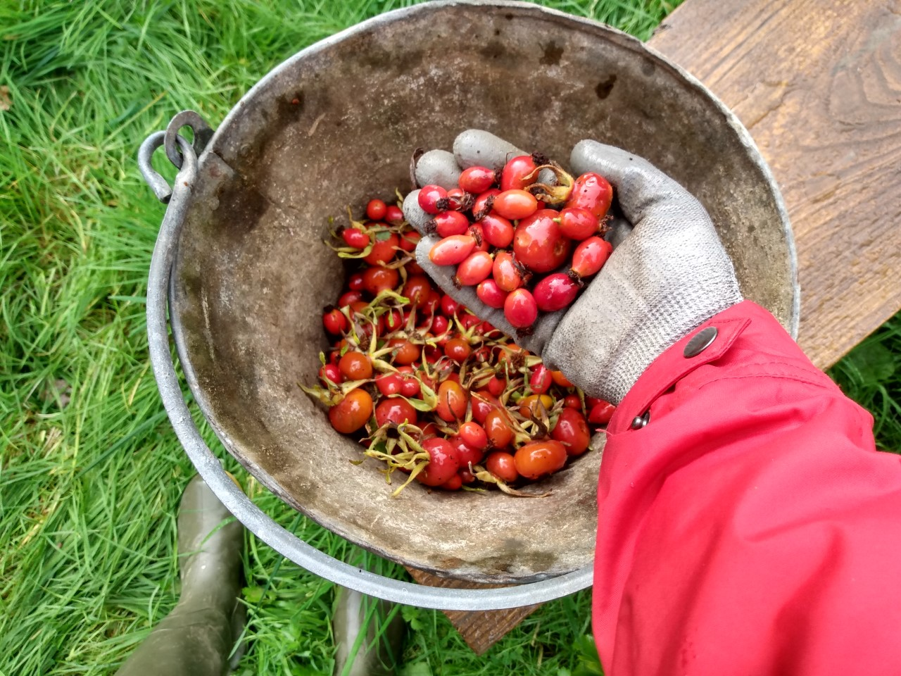 How to make homemade rosehip syrup by a Hopeful Home. Freshly picked rosehips.