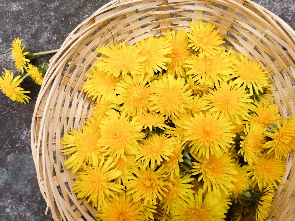 Basket of dandelions. How to Make Dandelion Cookies by a Hopeful Home.