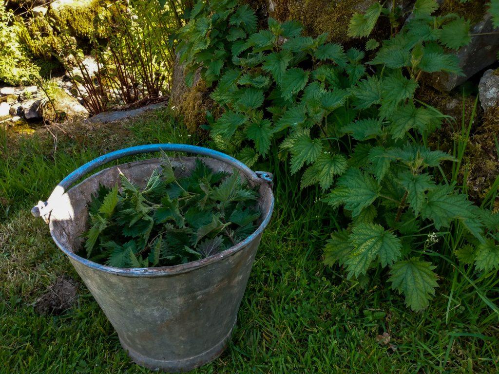 How to make stinging nettle plant fertilizer bucket with nettles