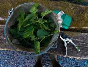 How to make stinging nettle plant fertilizer featured image
