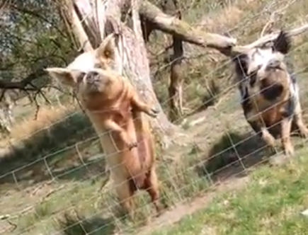featured image pig video